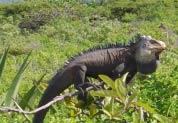 Zoom Iguane des Petites Antilles