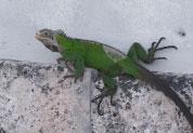 Iguane vert d'Amérique centrale