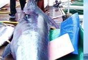Prise d'un Marlin géant